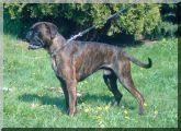 Antonio von der Saaleaue Wurftag: 01.05.2006 Zuchtbuchnummer: 227035