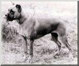 Rott von der Boxerburg Wurftag: 10.04.1978 Zuchtbuchnummer: Rott-3355
